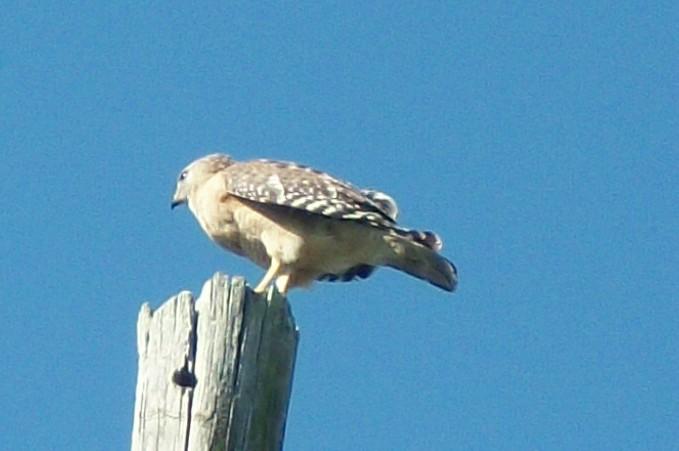 My Unidentified Hawk