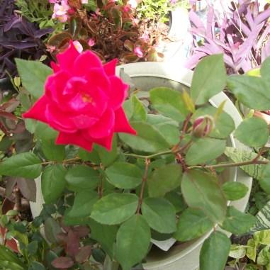 his roses