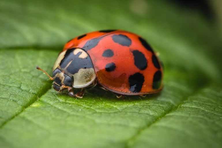 selective focus photography of ladybug on leaf