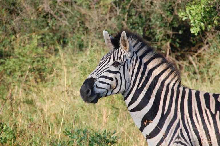 nature africa animals zebra