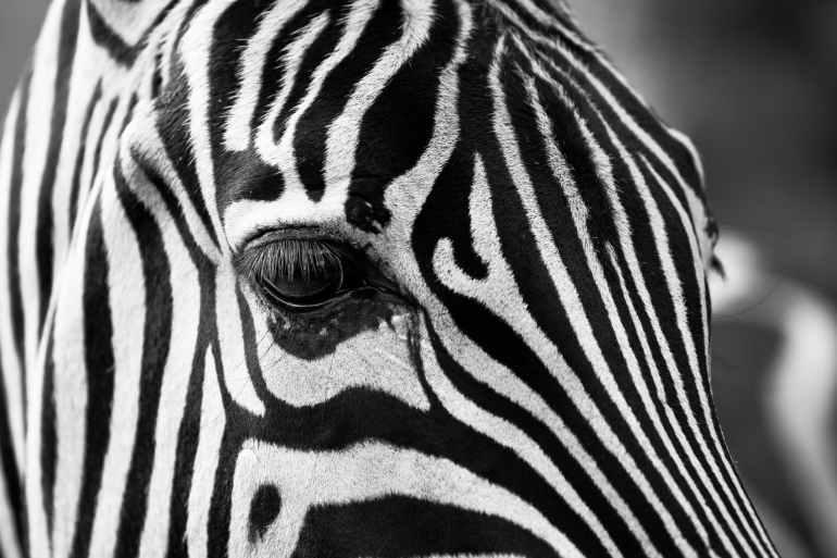 zebra crossing animals zoo stripes